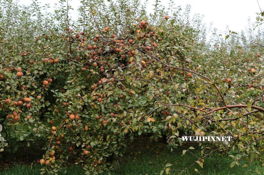 福壽山蘋果