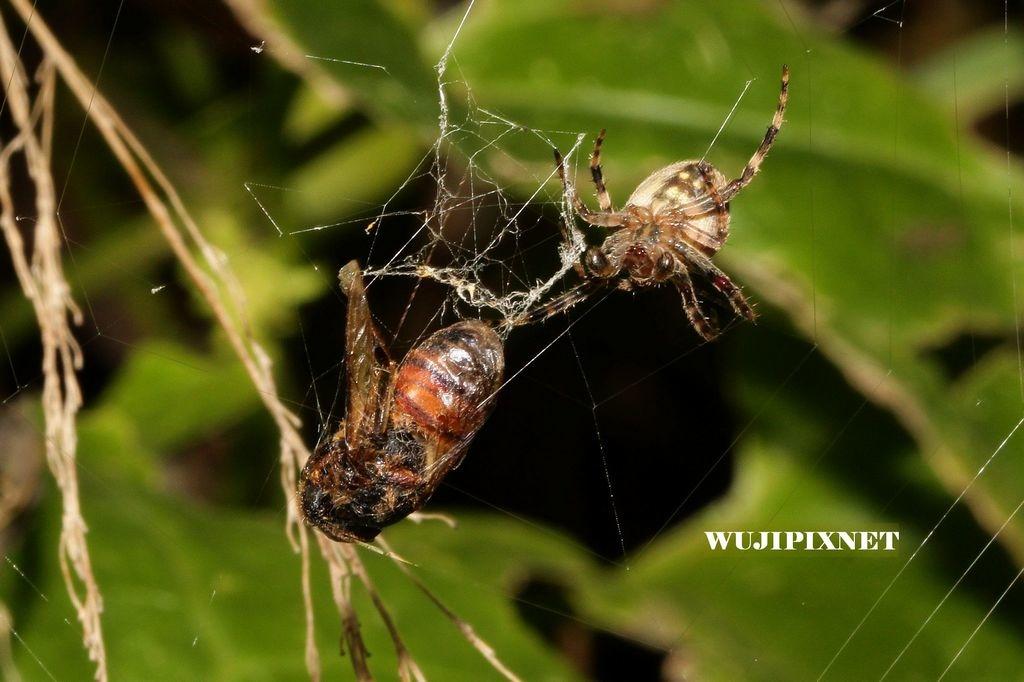 台灣粗腳姬蛛捕食蜜蜂