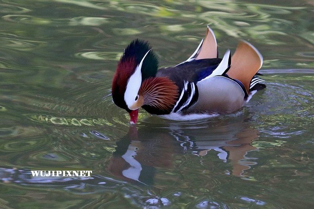 八德碑塘公園的鴛鴦與綠頭鴨