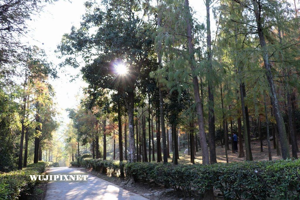 如光寺的落羽松林