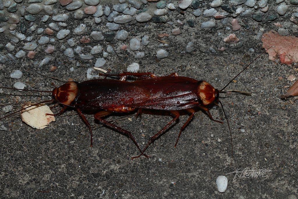 交配中的蟑螂