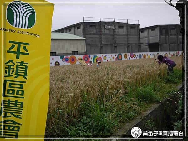 小麥田6.jpg