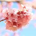 武陵櫻花季 (4)