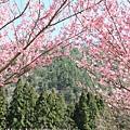 武陵櫻花季 (6)