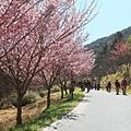 武陵櫻花季 (7)