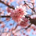 武陵櫻花季 (10)