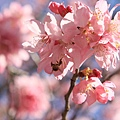 武陵櫻花季 (14)