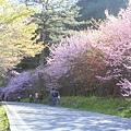 武陵櫻花季 (15)