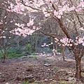 武陵櫻花季 (18)