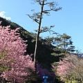 武陵櫻花季 (21)