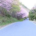 武陵櫻花季 (24)