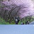 武陵櫻花季 (25)