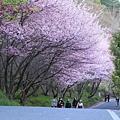 武陵櫻花季 (26)
