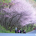 武陵櫻花季 (27)