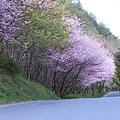 武陵櫻花季 (29)