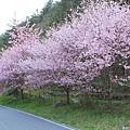 武陵櫻花季 (31)