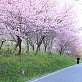 武陵櫻花季 (34)