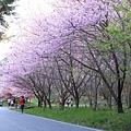 武陵櫻花季 (35)