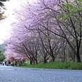 武陵櫻花季 (36)