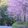 武陵櫻花季 (39)