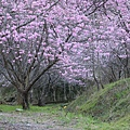 武陵櫻花季 (40)