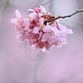 武陵櫻花季 (43)