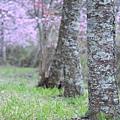 武陵櫻花季 (45)