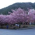 武陵櫻花季 (50)