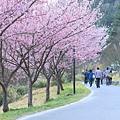 武陵櫻花季 (53)