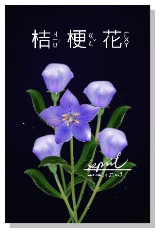 SPRIL-花草系列畫冊-桔梗花
