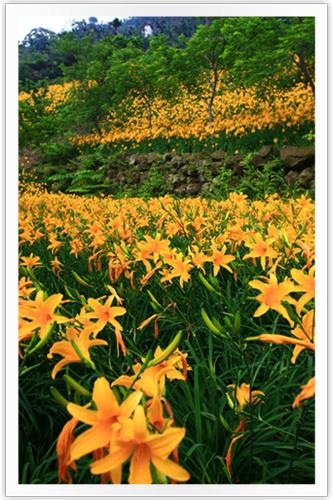 黃澄澄的金針花