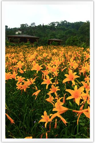 向陽的金針花