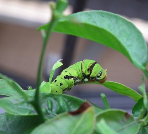 春曦農場-鳳蝶幼蟲