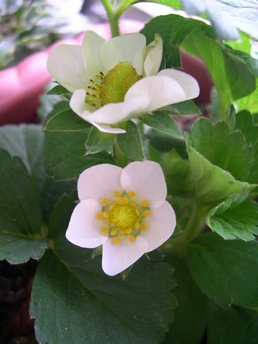 春曦農場-小小草莓園
