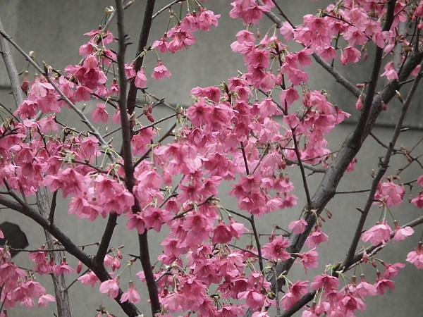 春曦農場-櫻花開了