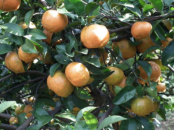 春曦農場-砂糖橘2