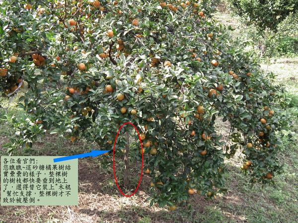 春曦農場-砂糖橘1