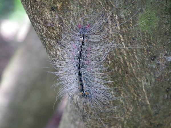 春曦農場-閃光苔蛾幼蟲