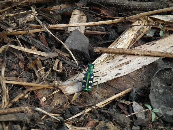 春曦農場-八星虎甲蟲