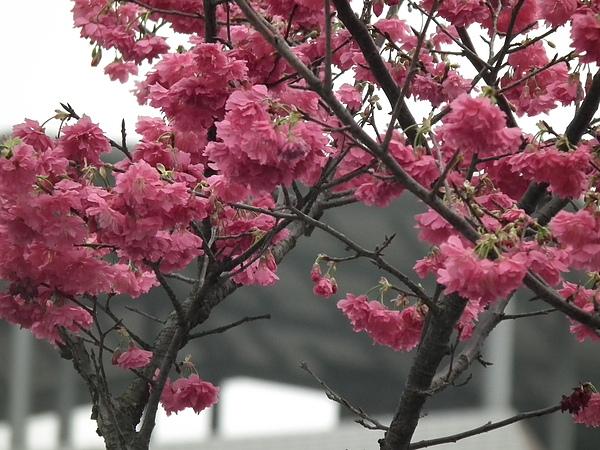 春曦農場-櫻花開了2