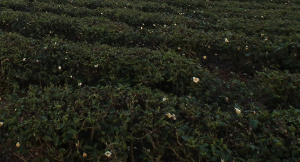 春曦農場-茶花2