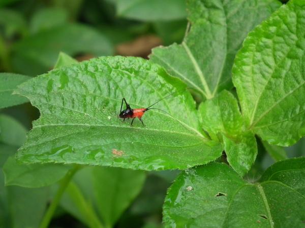 春曦農場-紡織娘幼蟲