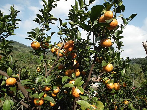 春曦農場-砂糖橘3