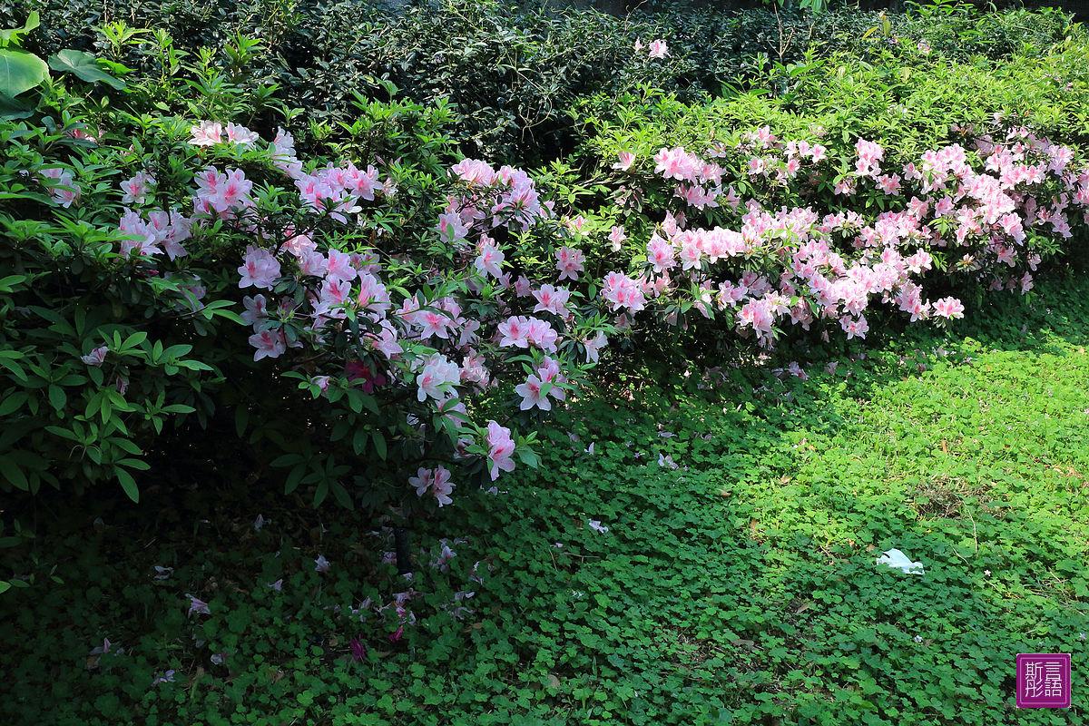 杜鵑花 (1)