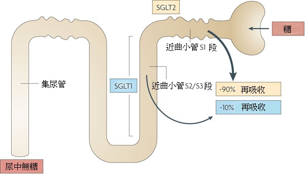 SGLT2