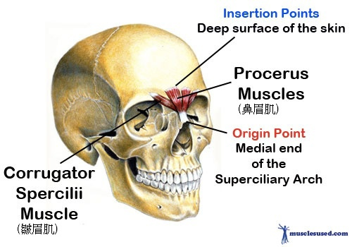 Corrugator-Spercilii-and-the-Procerus-Muscles
