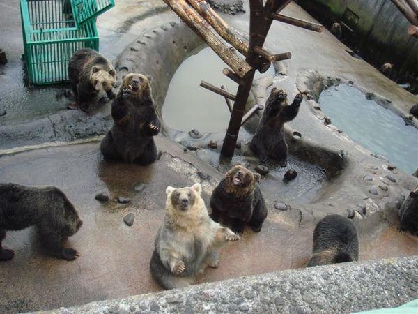 母熊群,會站立&揮手&拜託