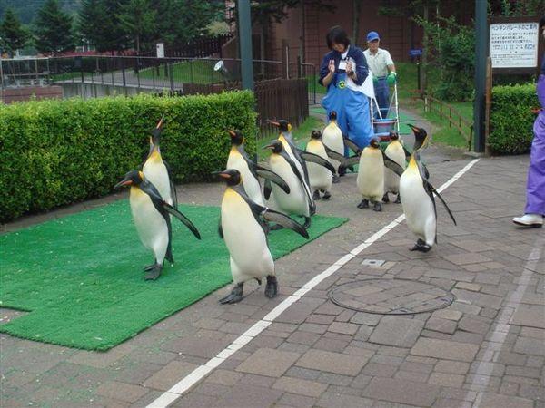 企鵝走路秀! 有一隻脫隊了