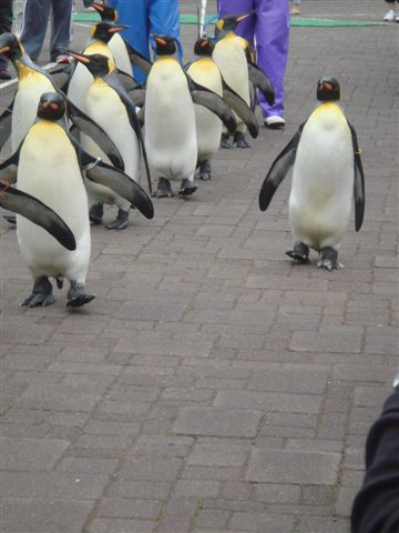 脫隊了,不想走的企鵝