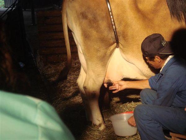 擠牛奶! 牛的乳頭其實很滑嫩